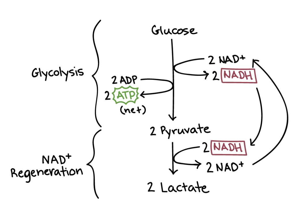 the end products of glycolysis include...? | Yahoo Answers